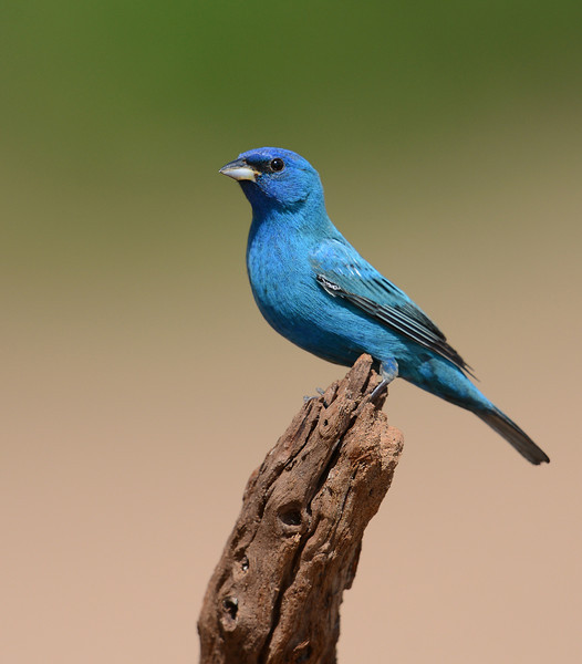Male Indigo Bunting, Laguna Seca Ranch, Texas