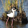 Black-necked Stilt, Galveston Island, Texas