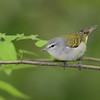 Male Tennessee Warbler, Galveston Island, Texas