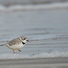 Piping Plover, Bolivar Peninsula, Texas
