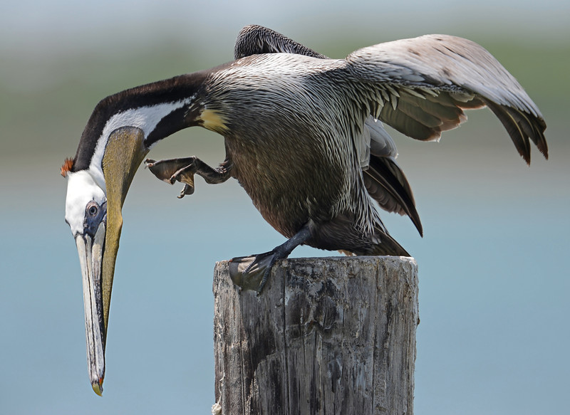 Brown Pelican, Ingleside, Texas