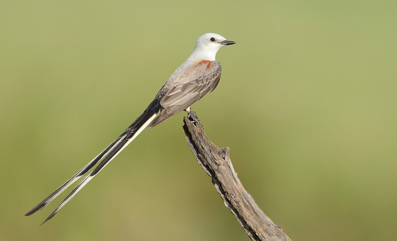 Scissor-tailed Flycatcher, Laguna Seca Ranch, Texas