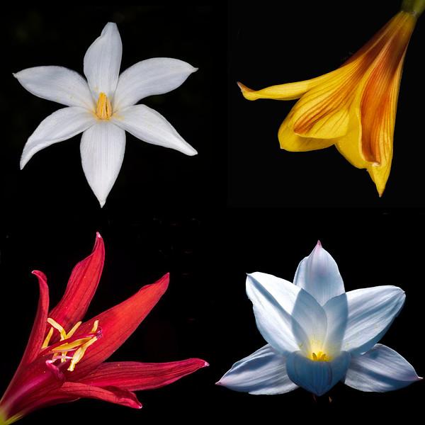 Evening rain lily (Zephyranthes chlorosolen)<br /> Copper lily (Habranthus tubispathis var. texensi<br /> Oxblood or schoolhouse lily (Rhodophiala bifida)<br /> Drummond's rain lily (Zephyranthes drummondii)