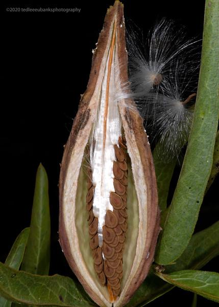 Antelope horns milkweed
