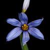 Swordleaf blue-eyed grass