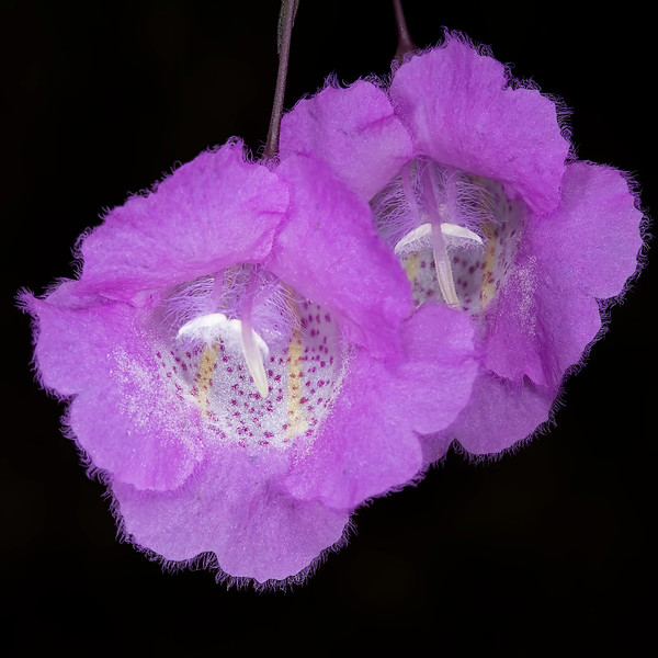 Stiffleaf false foxglove