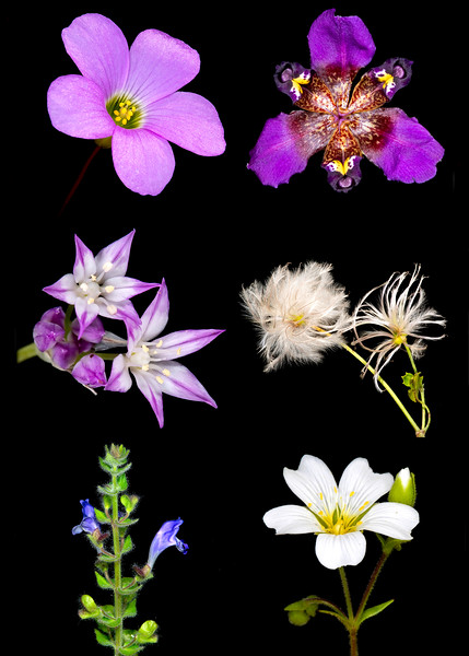 Compilation<br /> Flowers named for Thomas Drummond