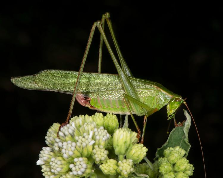 Frostweed with Texas katydid