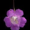 Stiffleaf agalinis