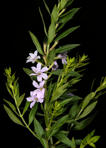 Winged loosestrife