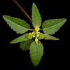 Toothed spurge