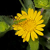 Lone star gumweed with green linx spider