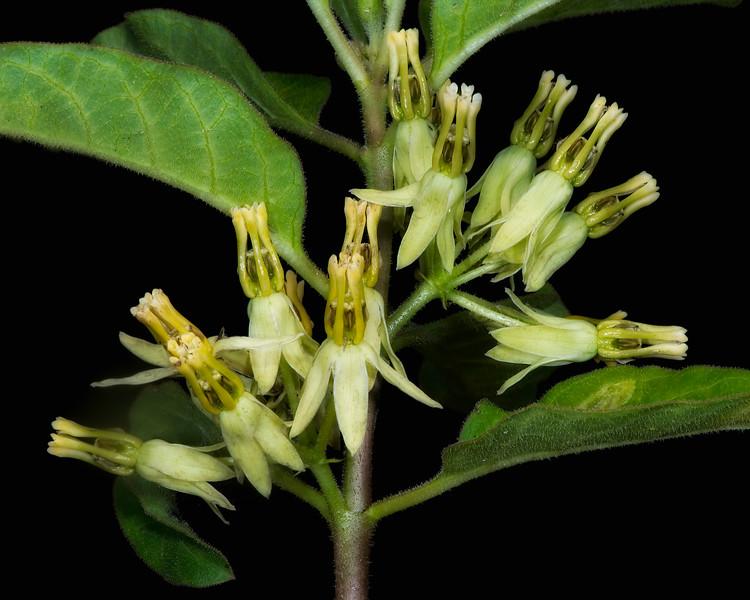 Zizotes milkweed (glow)