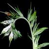 Bexar marbleseed