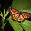 Giant ragweed with viceroy