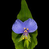 False dayflower