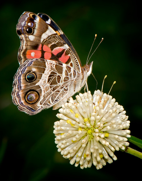 Buttonbush with American lady butterfly