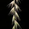 Texas grama grass