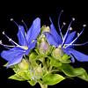 Blue waterleaf (Hydrolea ovata)