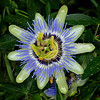Blue passionflower