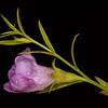 Prairie agalinis