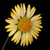 Maroon blanketflower (yellow variant)