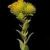 Narrowleaf gumweed
