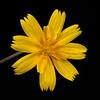 Dwarf dandelion