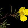 Square-bud primrose