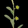 Smartweed leaf-flower
