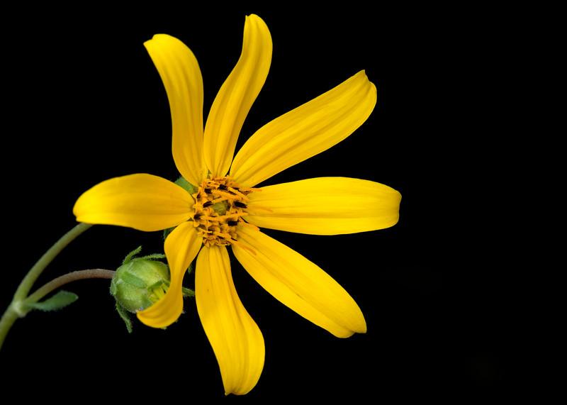 Engelmann's daisy