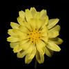 Texas dandelion