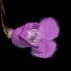 San Antonio false foxglove