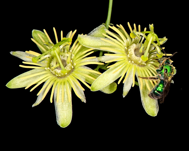 Yellow passionflower with green sweat bee