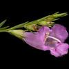 Prairie false foxglove