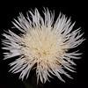 American basketflower