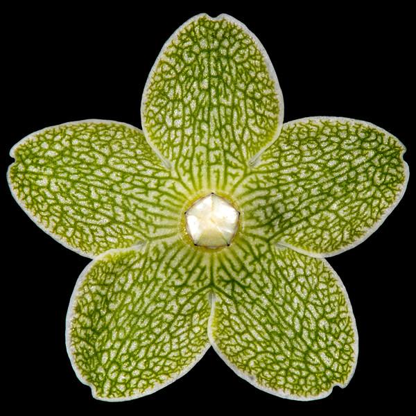 Pearl milkweed