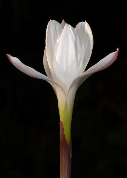 Evening rain lily