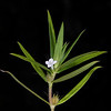 Rough buttonweed