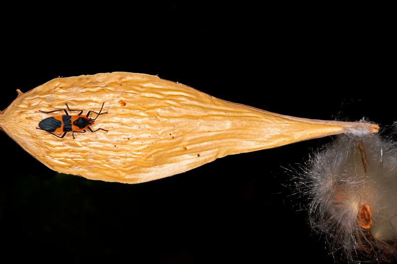 Pearl milkvine with large milkweed bug