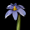 Swordleaf blue-eyed grass
