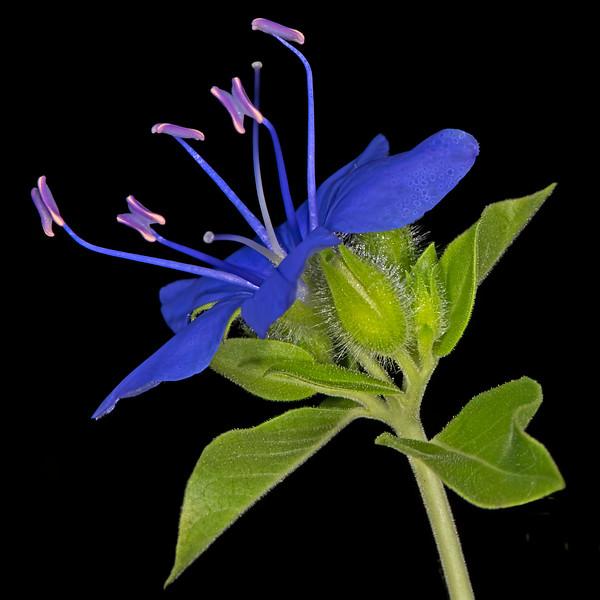 Blue waterleaf
