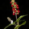 Pigeonberry