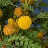 Goldball leadtree