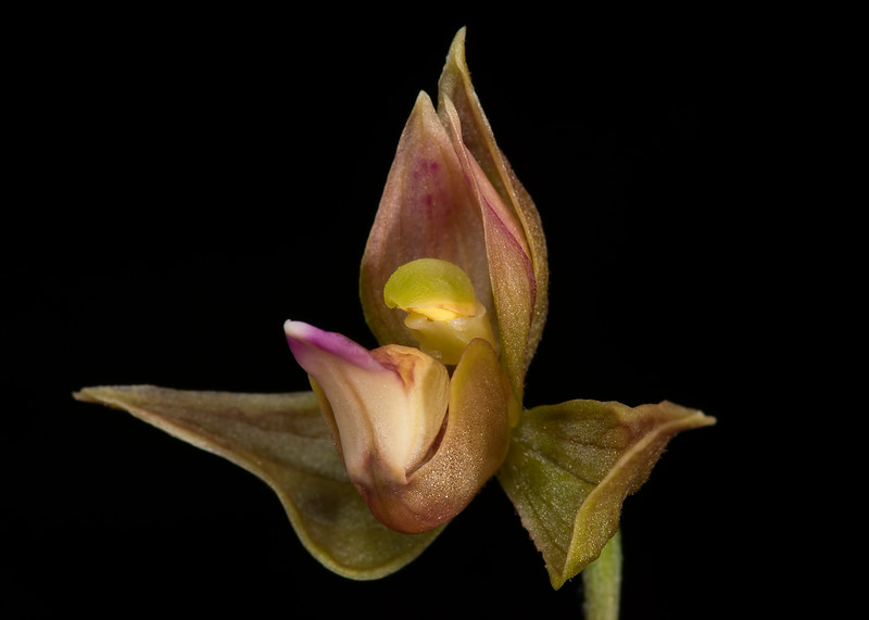 Stream (chatterbox) orchid