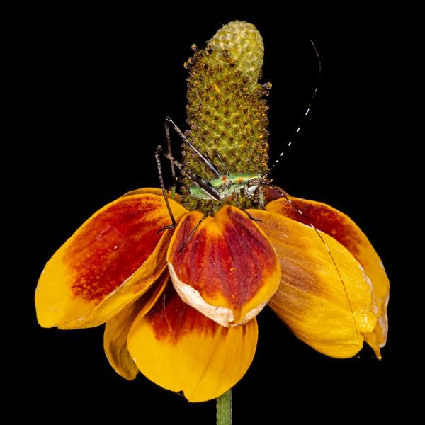 Mexcan hat with bush katydid