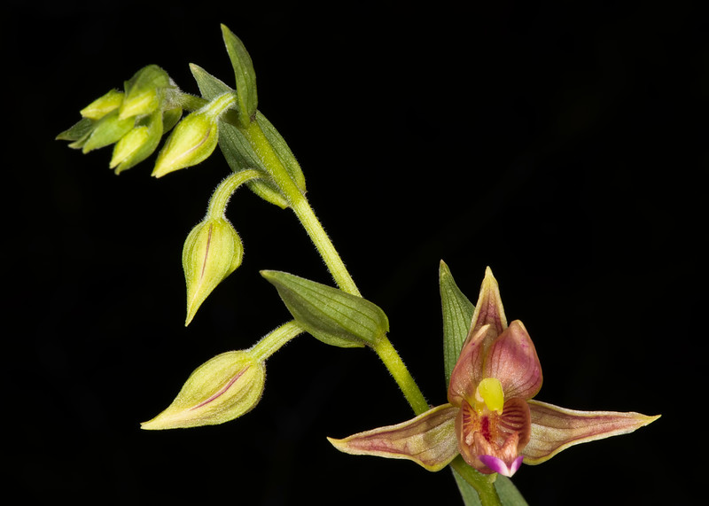 Chatterbox orchid