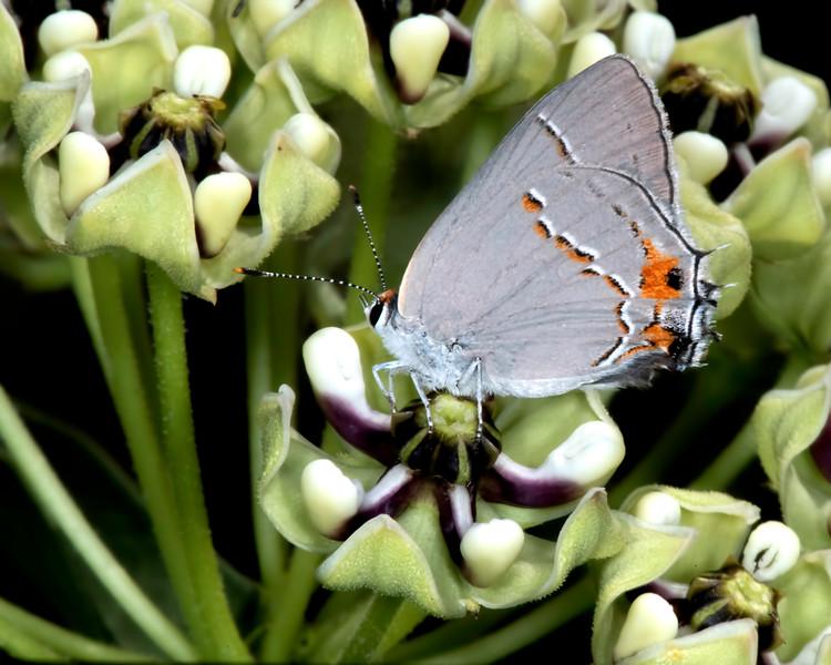 Antelope-horns milkweed with gray hairstreak