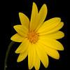 Hooker's scratch daisy