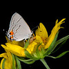 Cowpen daisy with gray hairstreak